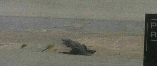 Crocodile dans les rues d'Abidjan.© France24/Nasser Eddy.